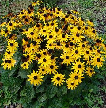 Black Eyed Susans are great for your bee garden