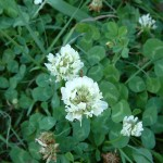Clover - a Natural bee friendly plant