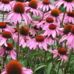 Echinacea - Not just for humans!